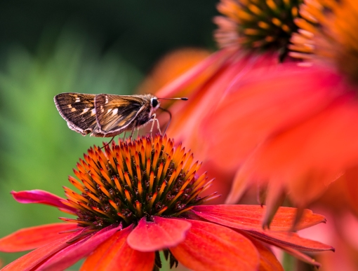 WEB Skipper Coneflower Side.jpg
