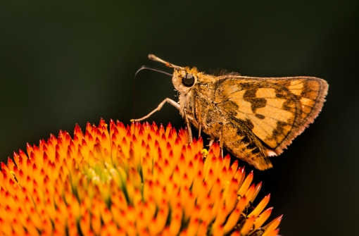 WEB Skipper on Coneflower