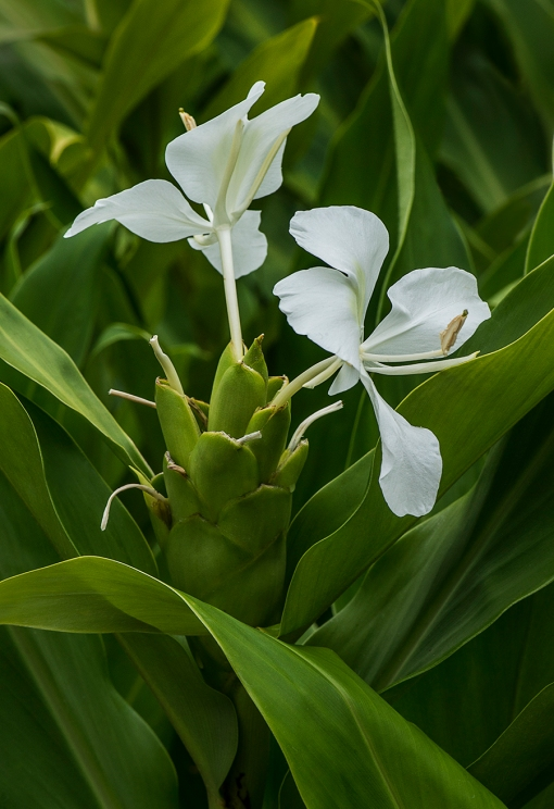 WEB White Flowering Ginger