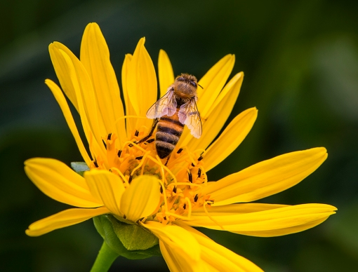 Honeybee on Yellow