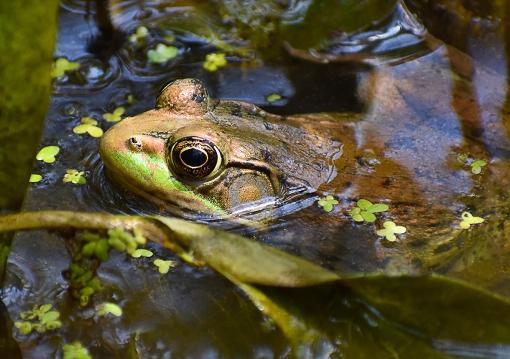 WEB Frog at McKee 1