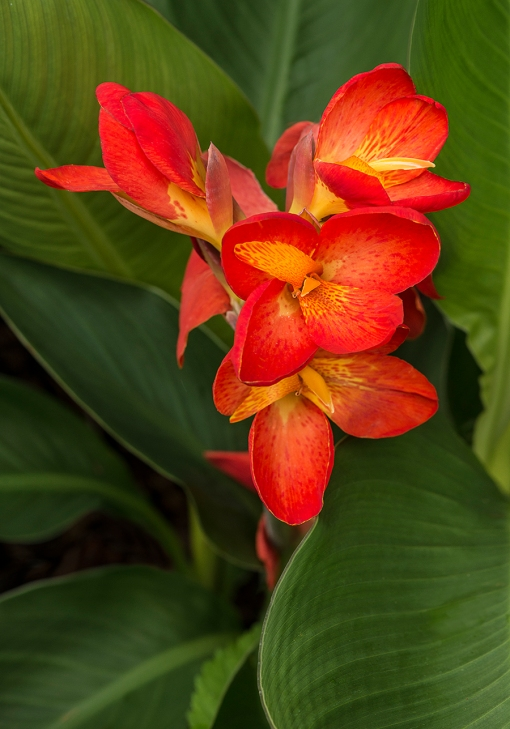 WEB Orange Canna