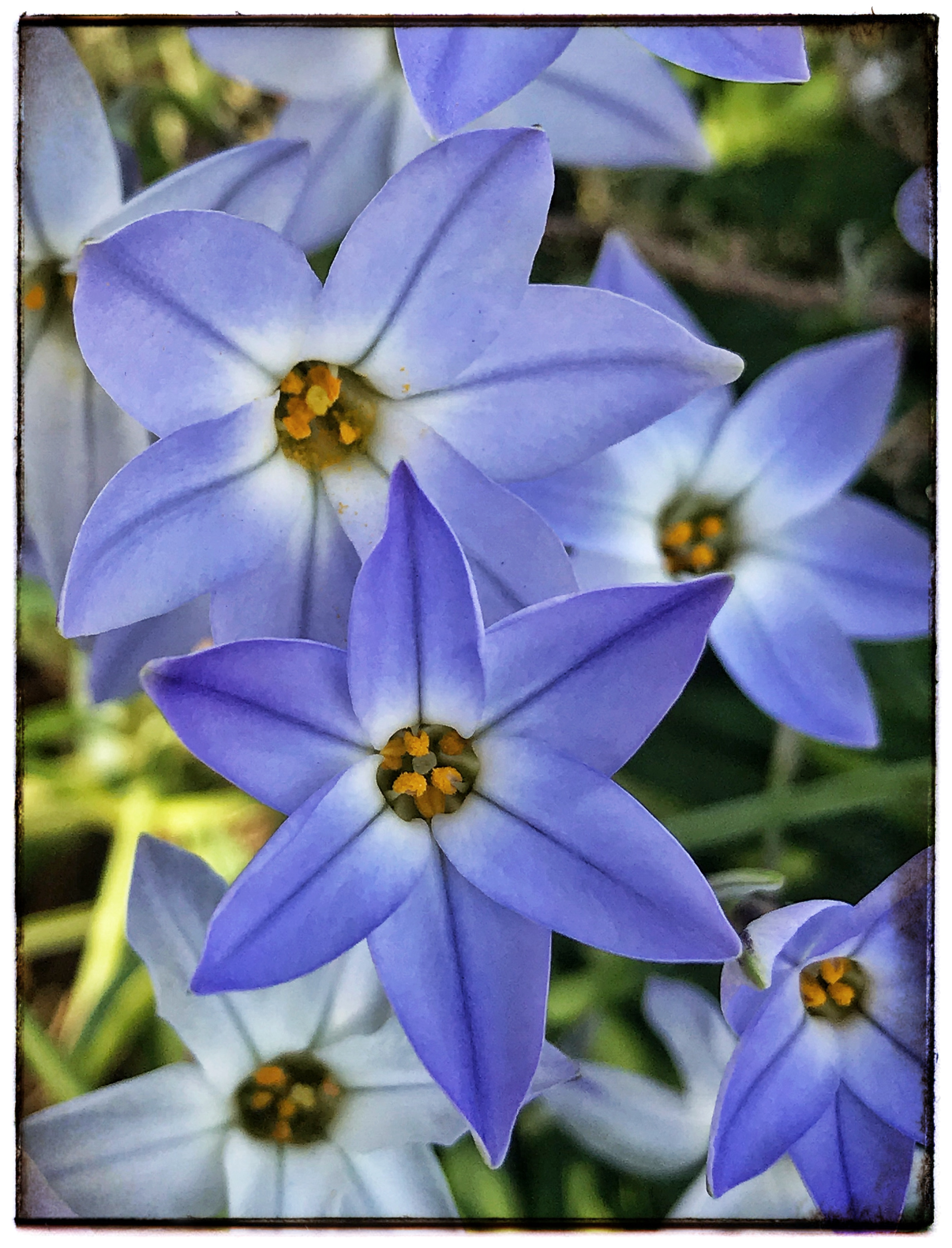 Blue Flowers GS