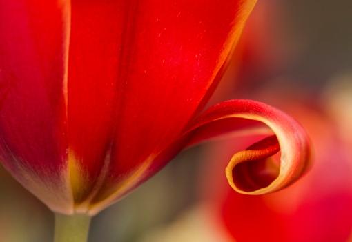 Curly Tulip WEB