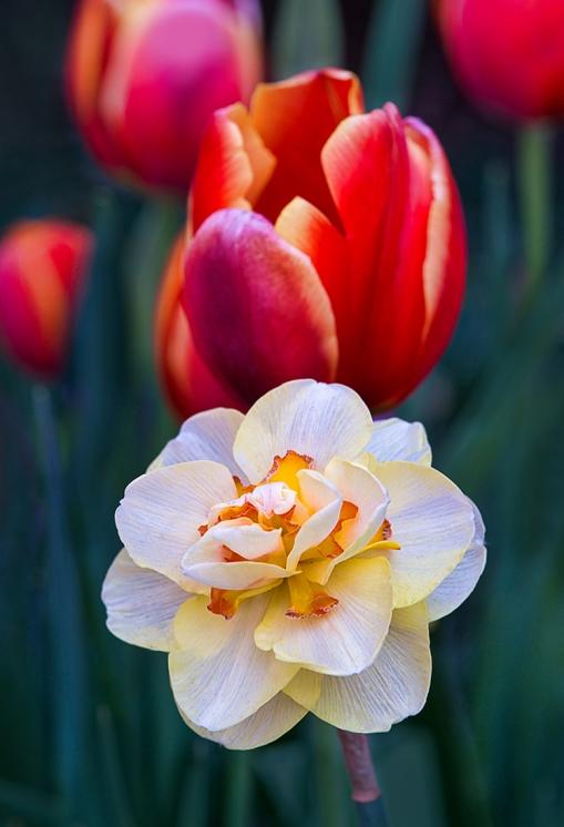 Daffodil Tulip Group WEB