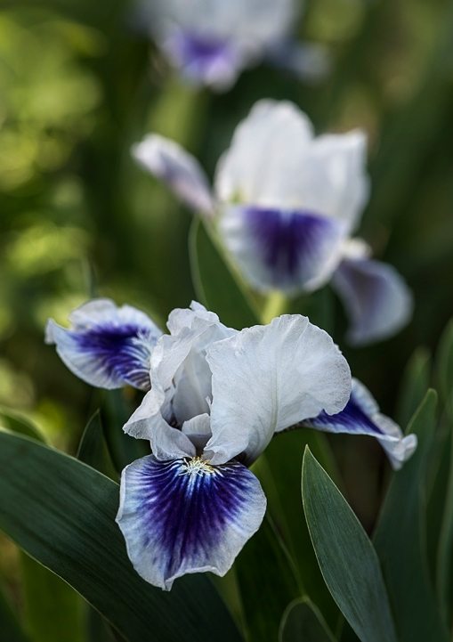 WEB Purple White Iris