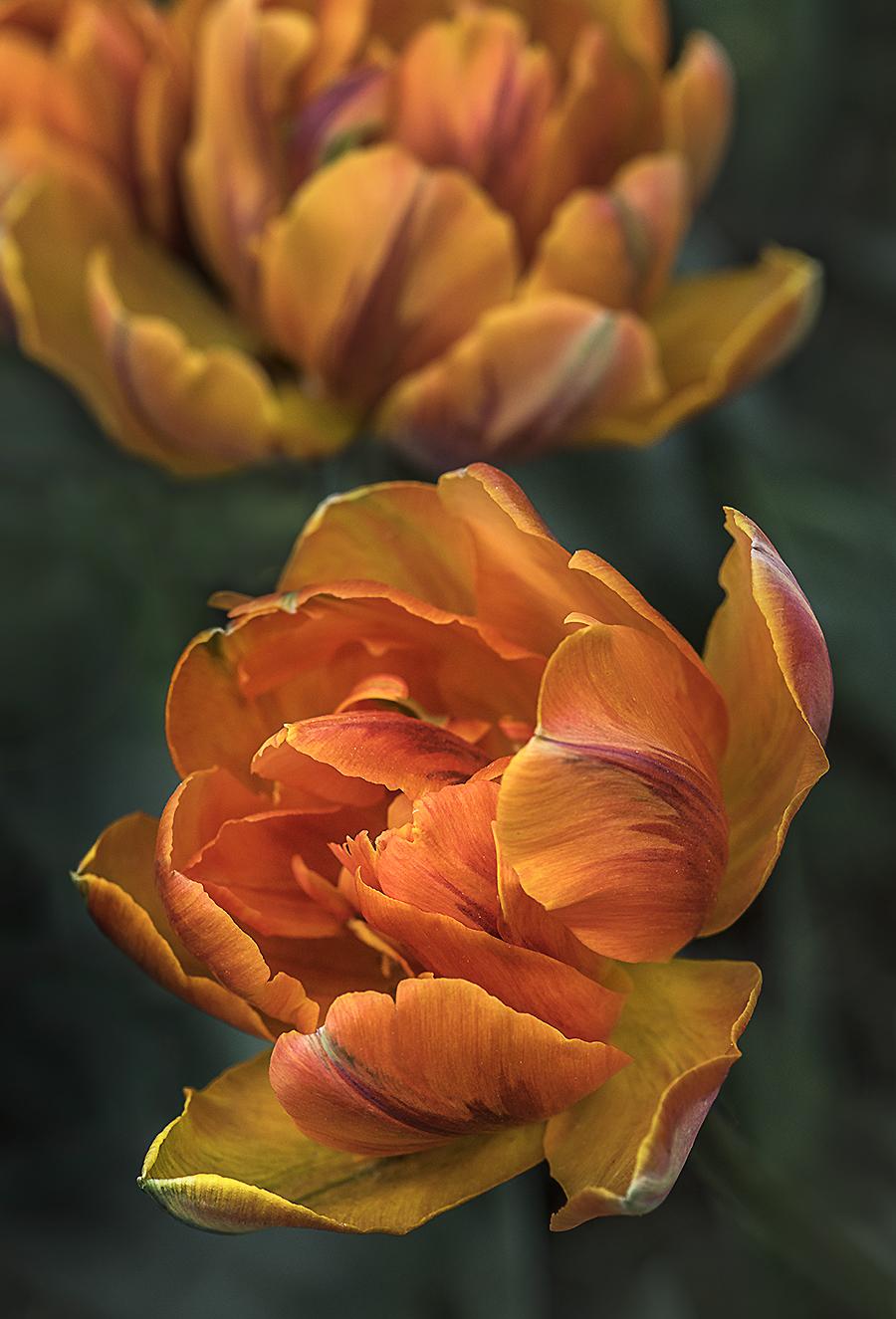WEB Orange Princess Tulip x2