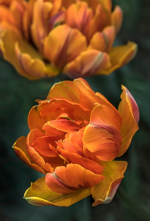 WEB Orange Princess Tulip x2