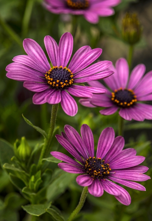 WEB Purple Osteospermum