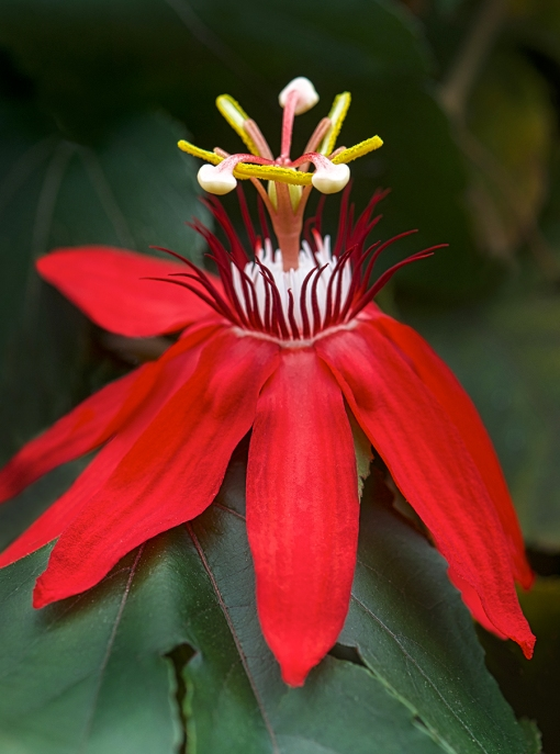 WEB Red Passionflower 1