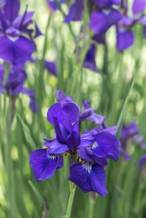 WEB Siberian Iris 1