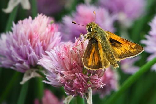 WEB Skipper on Chives