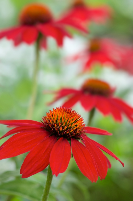 Red coneflower WEB.jpg