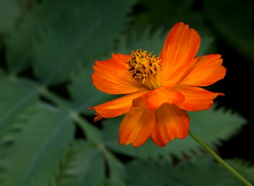 WEB Orange Cosmos Bloom