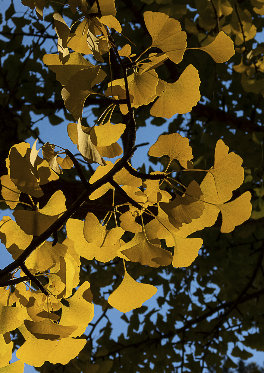 Gingko Closeup WEB