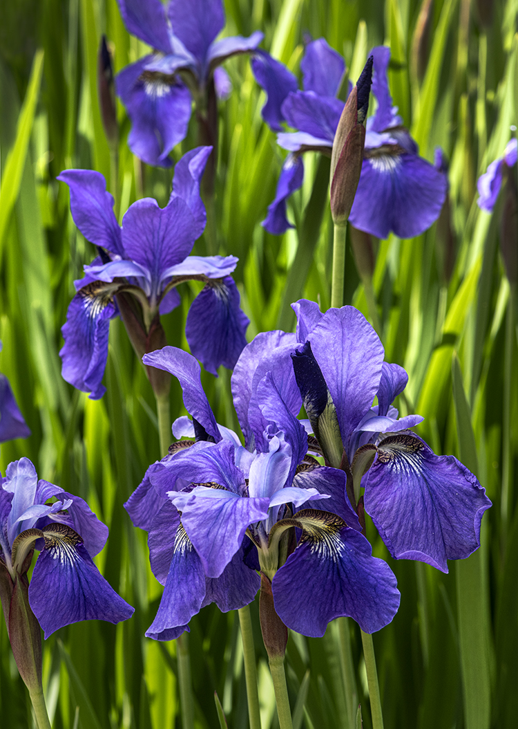 WEB Cluster Purple Iris