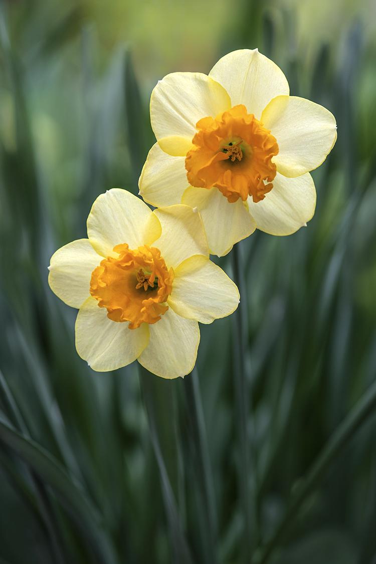 WEB Daffodils.jpg