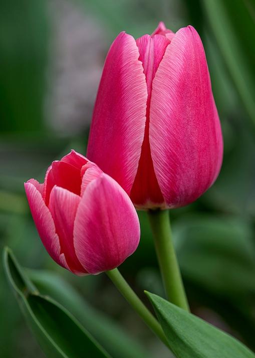 WEB Pink Tulips x 2.jpg