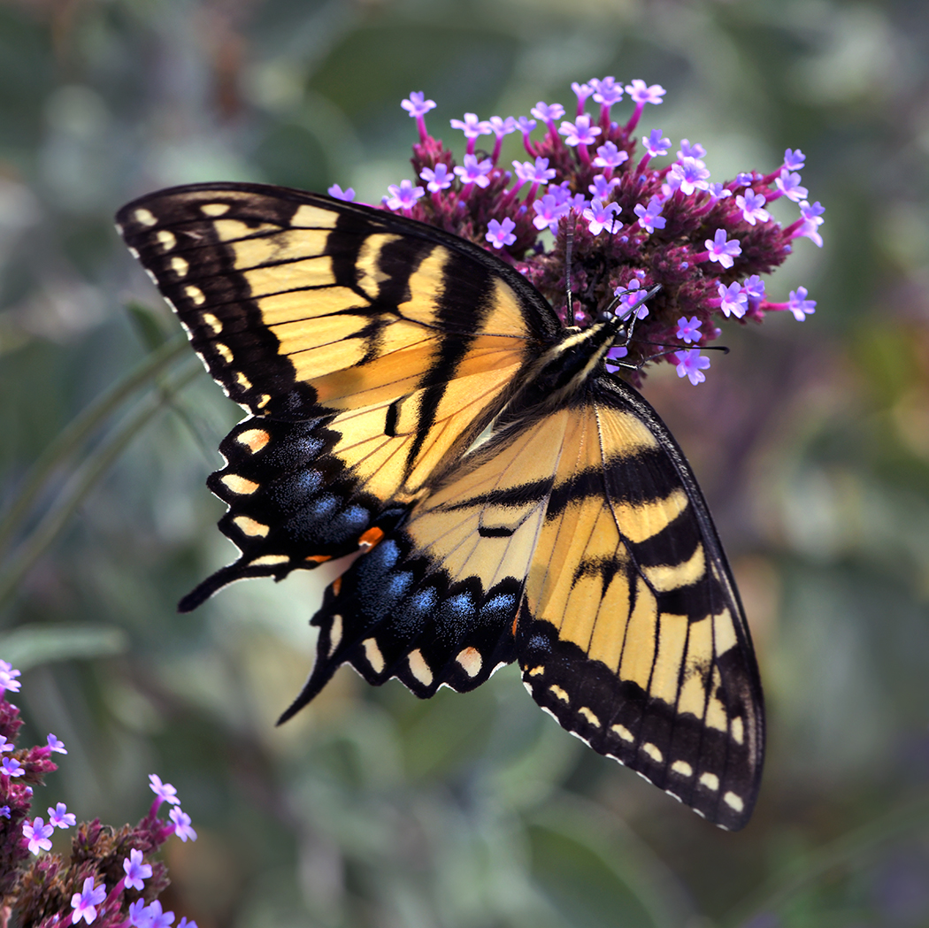 Tiger Swallowtail on purple WEB