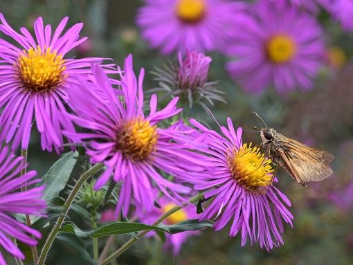 WEB Skipper on Asters