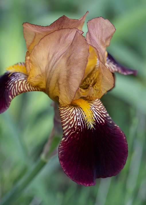 Bearded Iris WEB