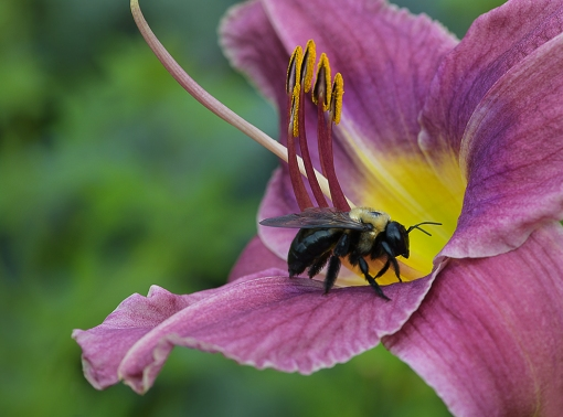 Bumblebee on Daylily WEB