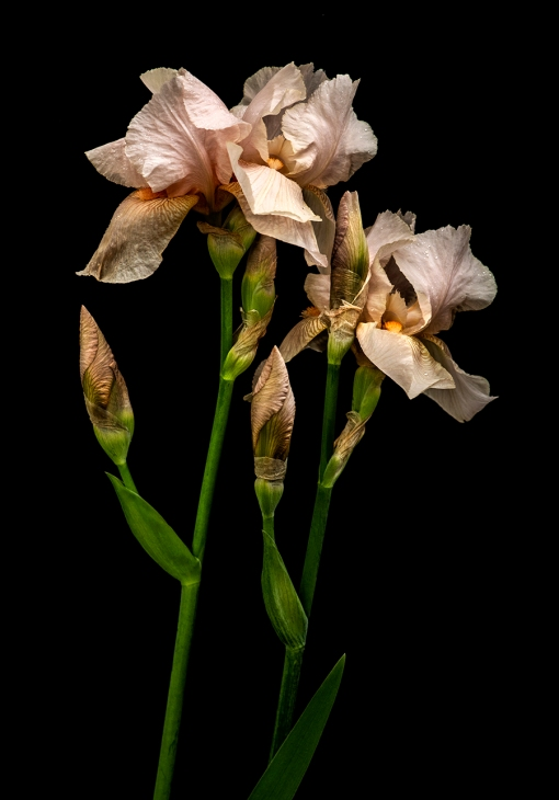 Peach Bearded Iris 1 WEB