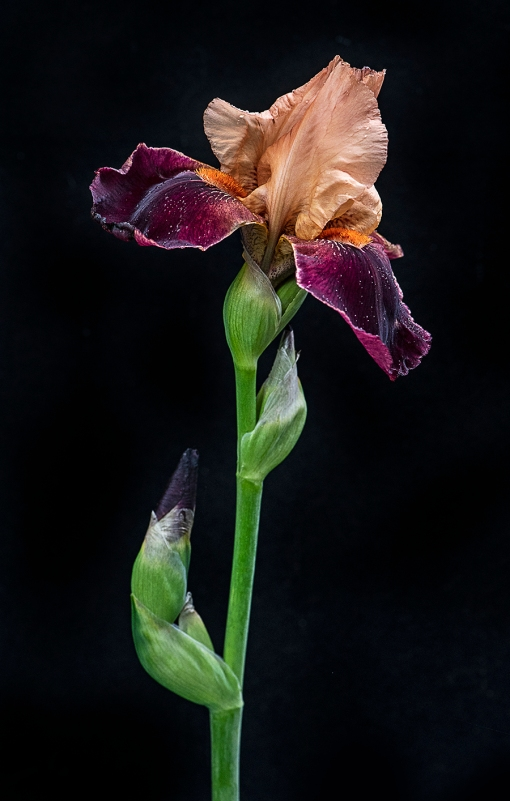 Peach Burgundy Bearded Iris WEB