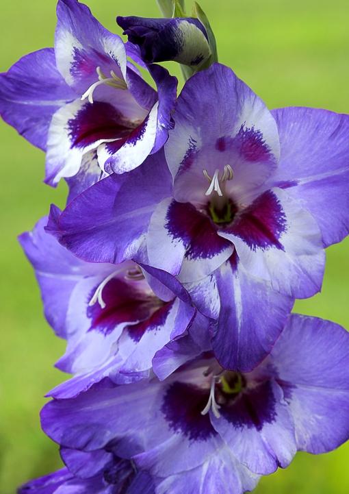 Purple Red Glads Ed Joanie WEB