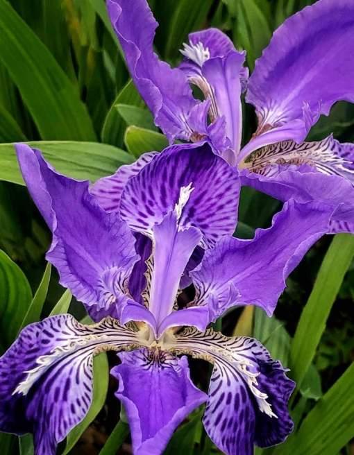 Siberian iris 2