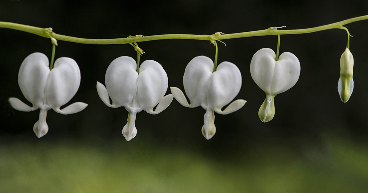 White Bleeding Hearts lorez