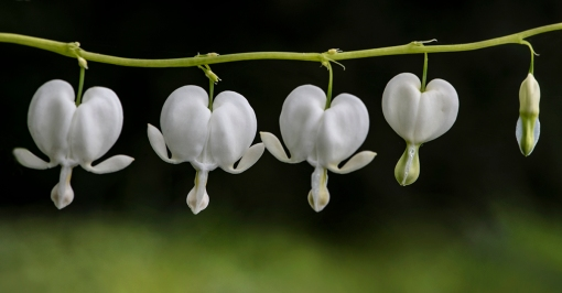 White Bleeding Hearts lorez