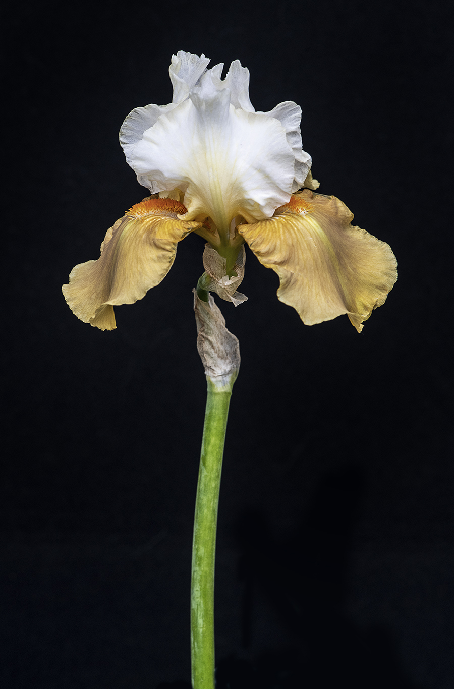 Yellow & White Bearded Iris WEB