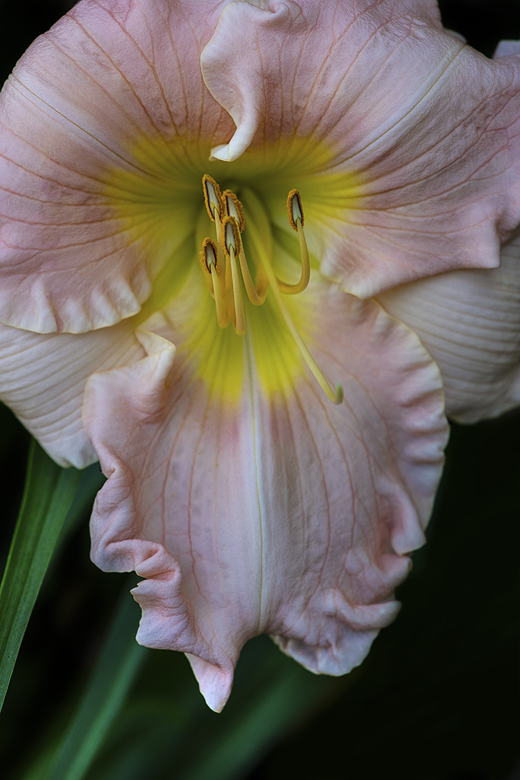 WEB Blush Peach Daylily