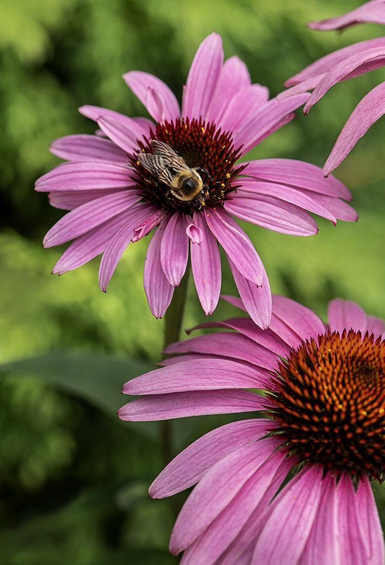 WEB Bumblebee Coneflower