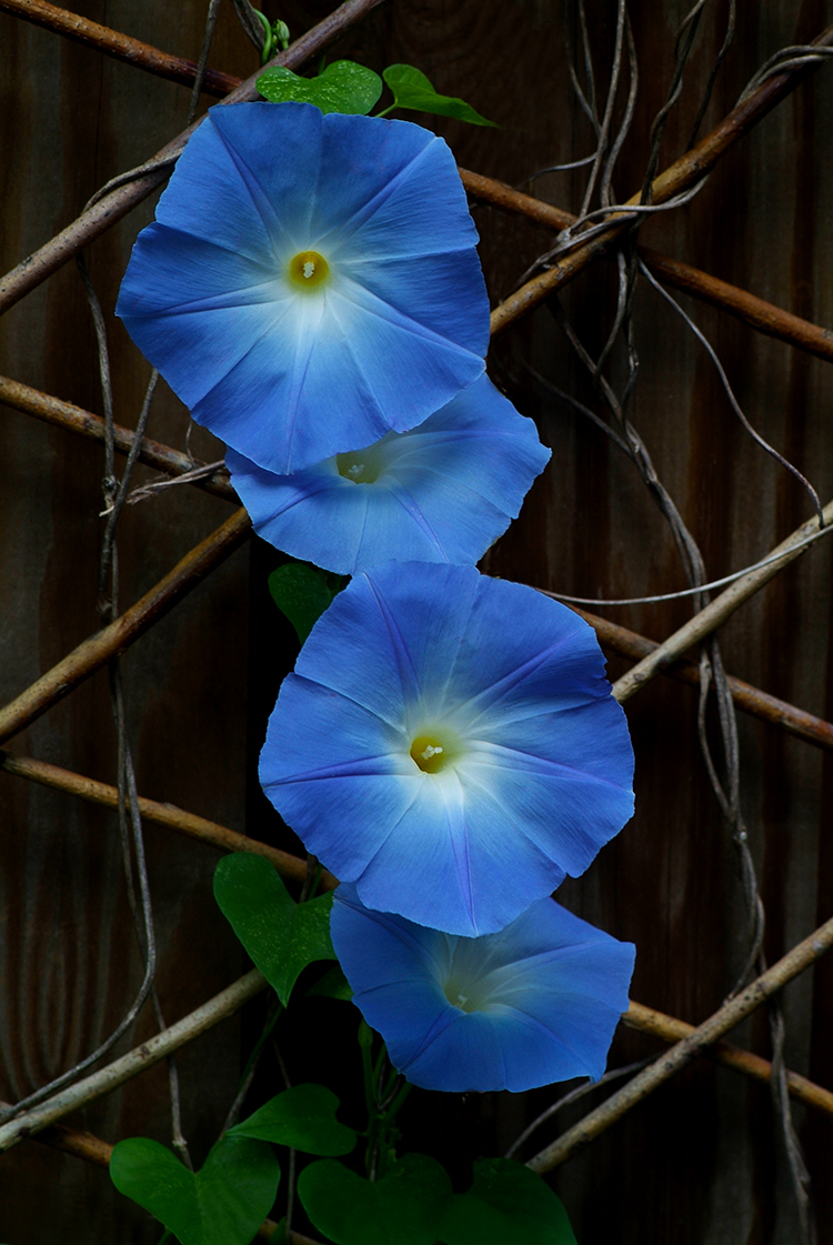 WEB Morning Glories