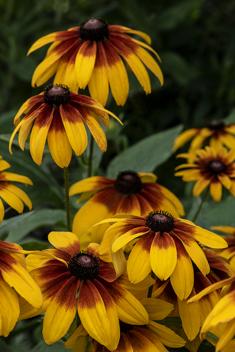 WEB Rudbeckia Group